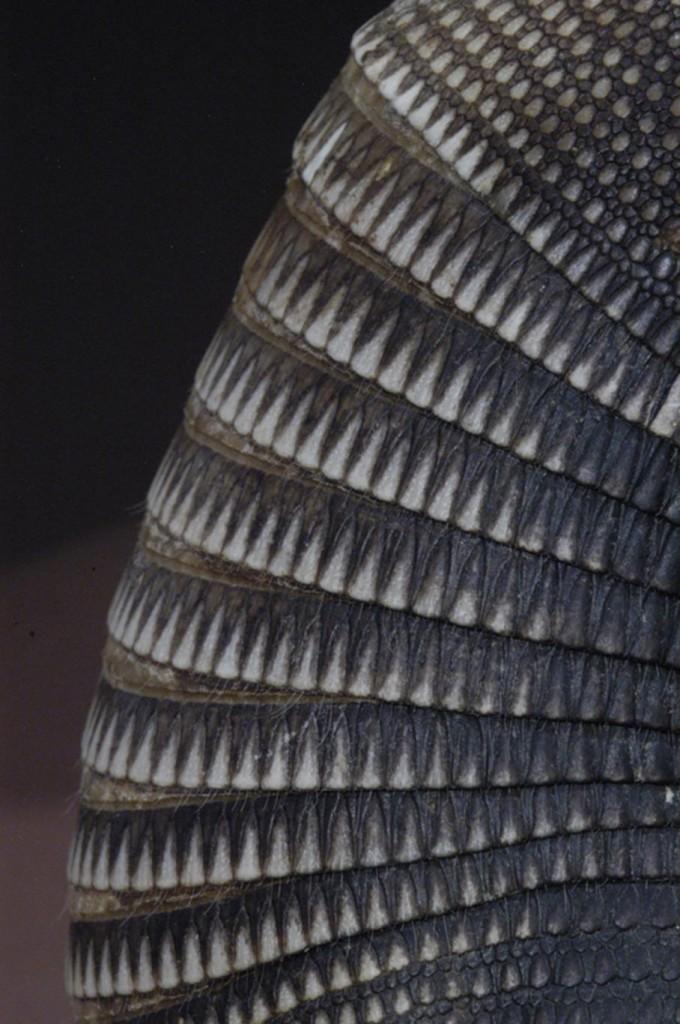 En ésta coraza de armadillo claramente se pueden observar los triángulos y círculos que aparecen como diseños de algunas vasijas cerámicas de origen prehispánico, también se puede apreciar la nueve bandas flexibles del caparazón