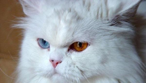 La mayor parte de los gatos con Heterocromía poseen pelambre blanco ya que la falta de melanina está ligada a esta mutación.