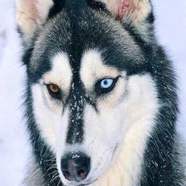 No solo en gatos puede darse esta variación; algunas razas de perros como los Huskies son propensos a tener ojos de diferentes colores.