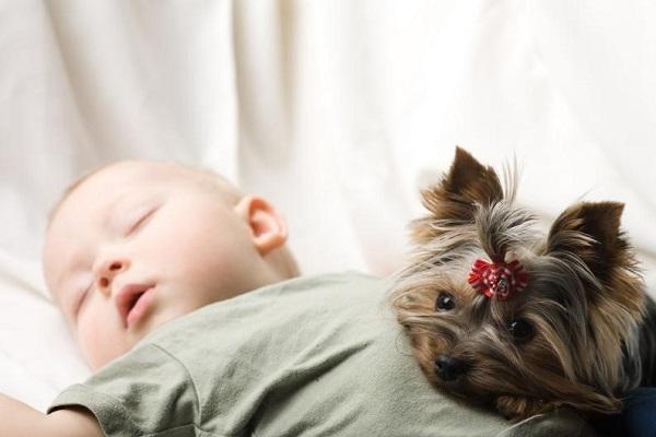 Aunque la mayoría de los perros ven con curiosidad la llegada de un nuevo bebé, los hay quienes pueden percibirlo como alguien extraño, e incluso como una presa, por lo que deben tomarse algunas precauciones, sin importar la raza del can.