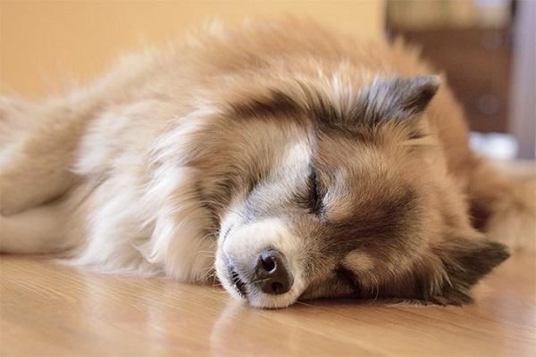 Un perro adulto suele dormir unas 13 horas diarias, mientras que los perros ancianos pueden hacerlo hasta por 18 horas o más, dependiendo de su estado de salud.
