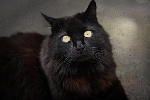 A pesar de su belleza, los gatos negros son asociados a la mala suerte y lo diabólico; esto no siempre fue así.