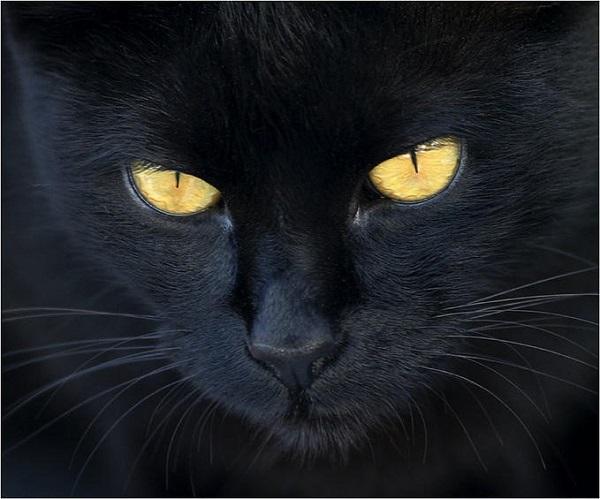 En la actualidad, durante la época de Halloween o Días de Muertos es cuando más cuidado debemos tener con nuestros gatos negros, ya que son usados para ritos de sacrificio por sectas o personas enfermas.