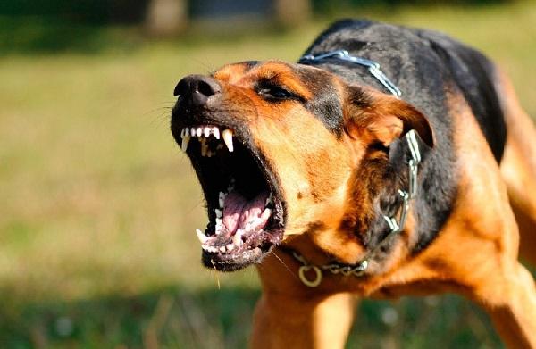 Si un perro gruñe, ladra, y además enseña los dientes, es una señal inequívoca de que se prepara a atacar y deben tomarse las precauciones pertinentes en consecuencia.