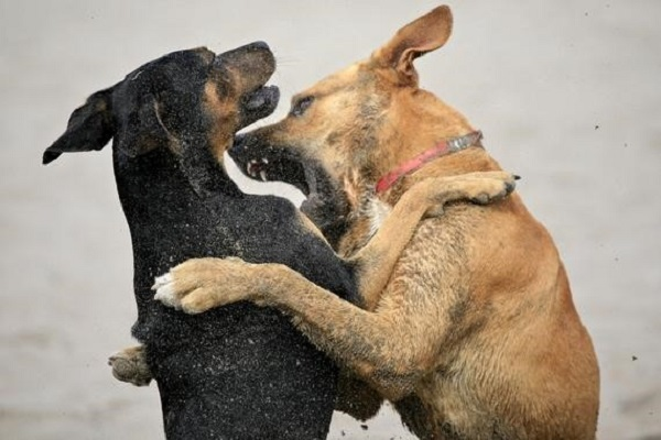 Hay que saber diferenciar entre actitudes agresivas y las que no lo son, incluso consideradas como juegos por parte de los canes.
