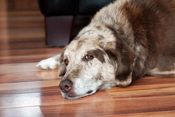 El envejecimiento de un ser vivo es parte de la ley de la vida, con todos los cambios que esto conlleva, y nuestros amigos caninos no escapan de eso.