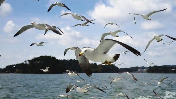 Las gaviotas son aves marinas que habitan en casi todos los continentes; pueden medir entre 27 y 80 centímetros del pico a la cola.