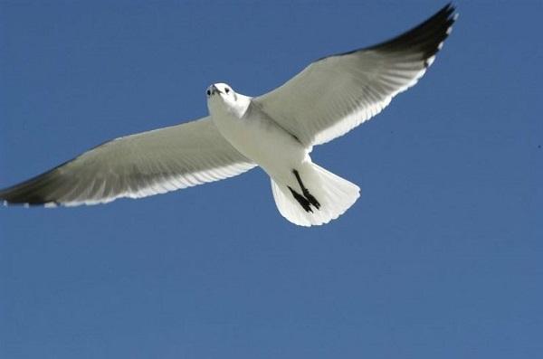 Su plumaje tiene tonalidades blancas y grises, con pequeñas manchas negras en las alas o la cabeza.