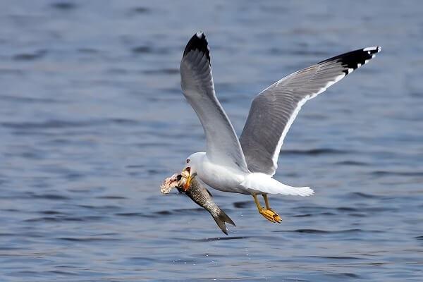 Se alimentan de peces, moluscos, vegetales y gusanos, aunque pueden robar huevos de otras aves costeras e incluso alimentarse de carroña.