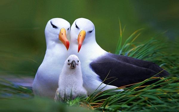 Las gaviotas tiene una única pareja en toda su vida y ambos comparten la crianza de los polluelos.