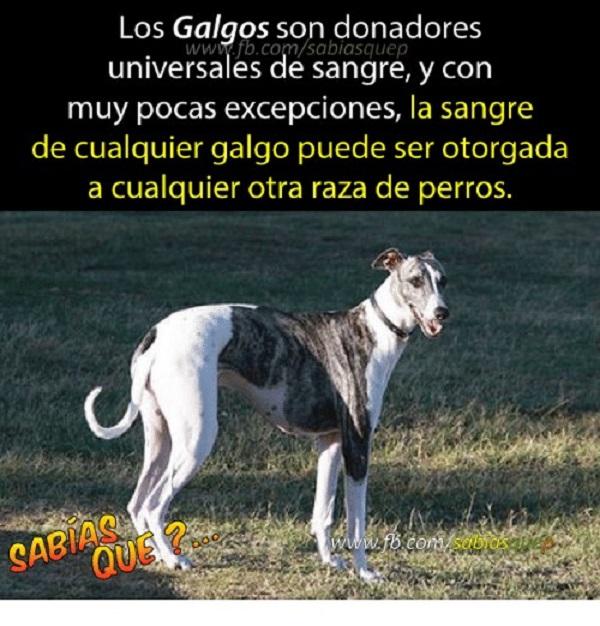 Se necesitan ciertas características para ser donador, entre ellas que el perro tenga un peso de al menos 25 kg y que se encuentre sano.