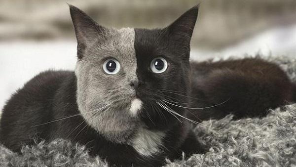 El Quimerismo en los animales es una anomalía genética que se manifiesta por lo general con combinaciones de colores.