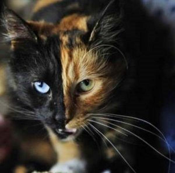 Mancha, la gata quimera de Argentina.