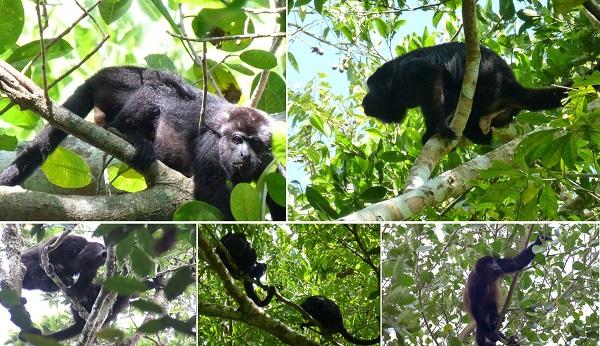 Los monos aulladores negros de la Península de Yucatán serán protagonistas del segundo episodio de 'México Salvaje'.
