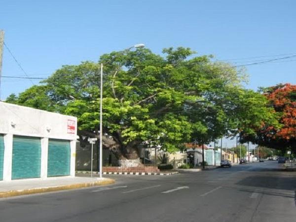 Emblemático árbol del Pich, de la Av. de los Cupules con calle 16. Al atardecer, en sus confidentes, observé el ocaso del día mientras estudiabamis deberes del bachillerato. acompañado de la fresca brisa del norte,disfrutando de mis colonias Yucatán y García Ginerés. AHGA.