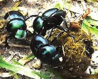 escarabajo3