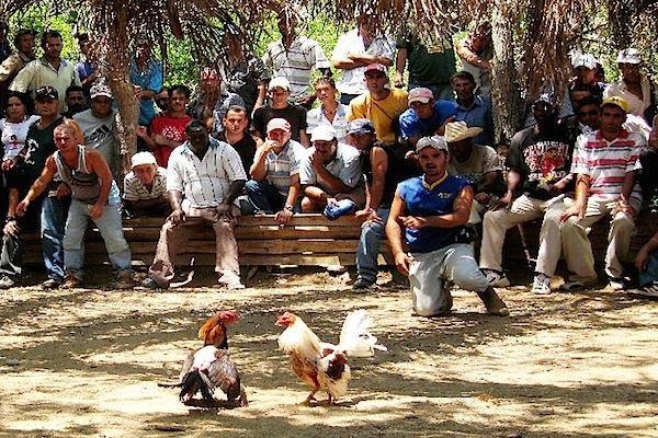 Pelea de gallos en Vinales, Cuba.