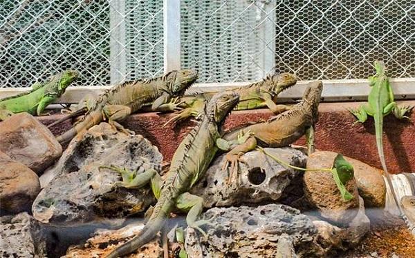 iguanas3